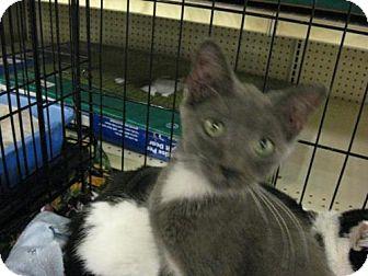 Domestic Shorthair Cat for adoption in Logan, Utah - Sherman