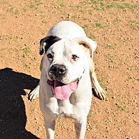 Adopt A Pet :: Arlo - Acton, CA
