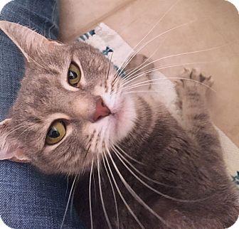 Domestic Shorthair Cat for adoption in Worcester, Massachusetts - Kit-Kat