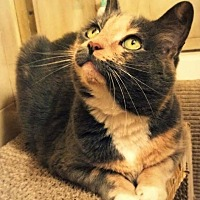 Domestic Shorthair Cat for adoption in Wayne, Pennsylvania - Ula
