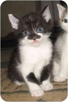 Domestic Shorthair Kitten for adoption in Cincinnati, Ohio - Robin's kittens