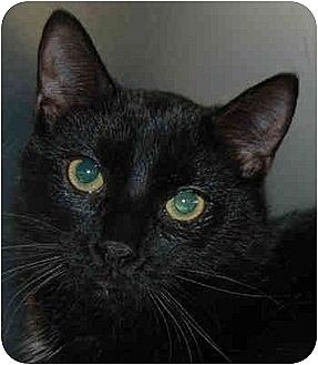 Domestic Shorthair Cat for adoption in Lutherville, Maryland - Fudge