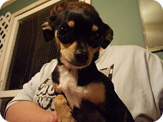 Chihuahua Mix Dog for adoption in Hollis, Maine - Cookie