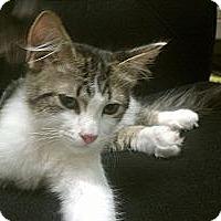 Adopt A Pet :: Floppy-BIG pt Ragdoll? - Scottsdale, AZ