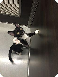 Domestic Shorthair Cat for adoption in Breinigsville, Pennsylvania - Lolly