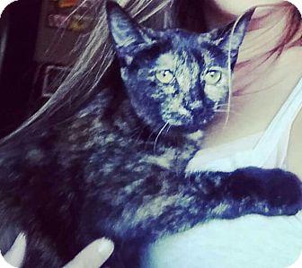 Domestic Shorthair Kitten for adoption in Columbus, Ohio - Matilda
