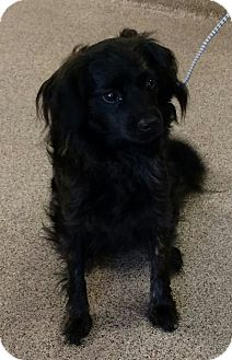Spaniel (Unknown Type) Mix Dog for adoption in Troy, Ohio - Lolly