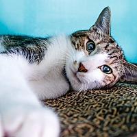 Adopt A Pet :: Gato - oakland park, FL
