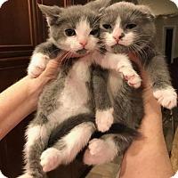Adopt A Pet :: Thing 1 - Baltimore, MD