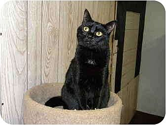 Domestic Shorthair Cat for adoption in Bartlett, Illinois - Suzy Q