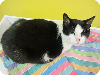 Domestic Shorthair Cat for adoption in Mobile, Alabama - Max