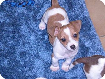 """Jack Russell Terrier Mix Puppy for adoption in New Castle, Pennsylvania - """" Bolt """""""
