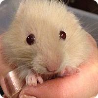 Adopt A Pet :: Kiwi - Bensalem, PA