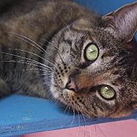 Domestic Shorthair Cat for adoption in Tucson, Arizona - Claire