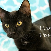 Adopt A Pet :: Harry  Potter - Wichita Falls, TX