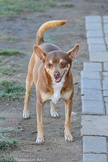 Miniature Pinscher Mix Dog for adoption in Anaheim, California - Skeeter