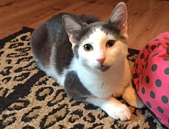 Domestic Shorthair Cat for adoption in Southlake, Texas - Lily - Courtesy Listing