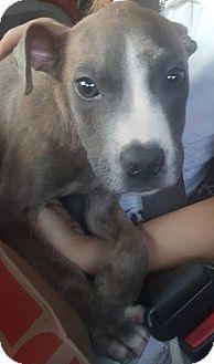 Bull Terrier Mix Puppy for adoption in Savannah, Georgia - Popah