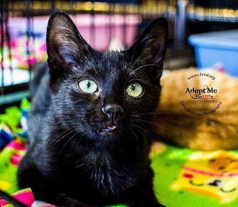 Domestic Shorthair Kitten for adoption in Charlotte, North Carolina - A..  Dustin