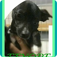 Chihuahua Dog for adoption in Jersey City, New Jersey - EEYORE