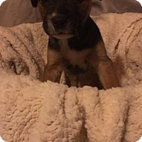 Adopt A Pet :: Chevy - Foristell, MO