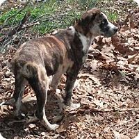 Adopt A Pet :: Brock - Albany, NY