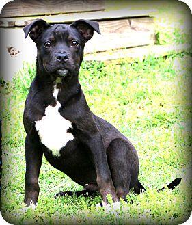 Bulldog/Labrador Retriever Mix Puppy for adoption in Glastonbury, Connecticut - Astro