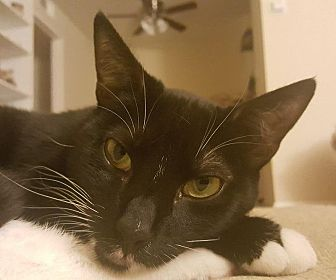 Domestic Shorthair Cat for adoption in Mountain View, California - Ella