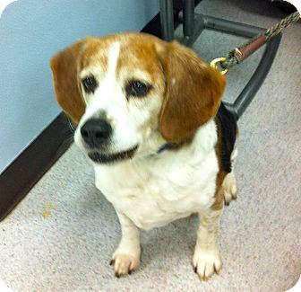 Beagle Dog for adoption in Minnetonka, Minnesota - Neo