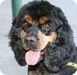 Cocker Spaniel Dog for adoption in Canoga Park, California - Bootsy