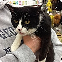 Adopt A Pet :: Mittens - Troy, OH