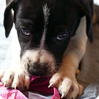Adopt A Pet :: Puppy Love - Broomfield, CO