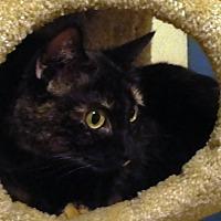 Domestic Shorthair Cat for adoption in Manhattan, Kansas - Star