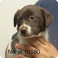 Adopt A Pet :: Nellie - Greencastle, NC