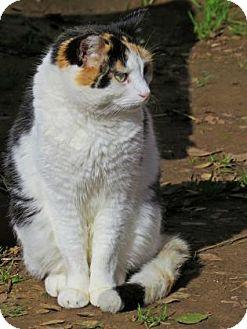 Calico Cat for adoption in El Dorado Hills, California - Isabella