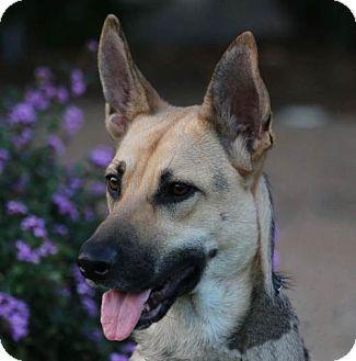 German Shepherd Dog Dog for adoption in San Diego, California - Evie
