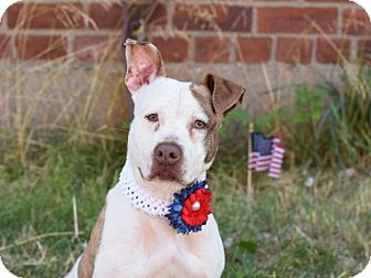 Pit Bull Terrier Mix Dog for adoption in New York, New York - Spirit