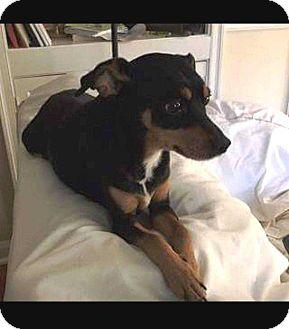 Miniature Pinscher/Rat Terrier Mix Dog for adoption in Richmond, Kentucky - Jackson