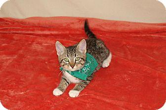 Domestic Shorthair Kitten for adoption in Jackson, Mississippi - Tobias