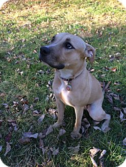 Labrador Retriever/Pit Bull Terrier Mix Dog for adoption in Redding, Connecticut - Margaret