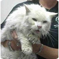 Adopt A Pet :: Whitey - Gilbert, AZ