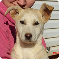 Husky/Labrador Retriever Mix Puppy for adoption in Niagara Falls, New York - Gemini (15 lb) Video!
