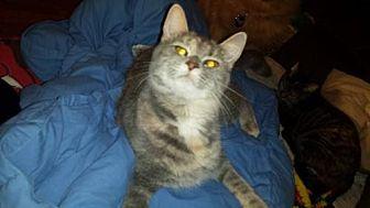 Domestic Shorthair Kitten for adoption in Iroquois, Illinois - Rowan