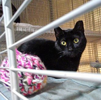Bombay Cat for adoption in Brooklyn, New York - Awesome Abby!