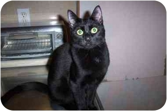 Domestic Shorthair Cat for adoption in Vails Gate, New York - LuLu/Lucy