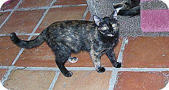 Domestic Shorthair Cat for adoption in Scottsdale, Arizona - Nadia