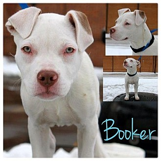 American Pit Bull Terrier Mix Puppy for adoption in Garden City, Michigan - Booker