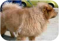 Chow Chow Dog for adoption in Columbus, Ohio - Sandy