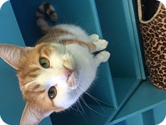 Domestic Shorthair Cat for adoption in Estherville, Iowa - Hercules