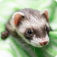 Adopt A Pet :: Niven - Balch Springs, TX